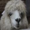 Alpaca Slider