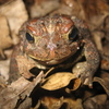 American Toad Jigsaw Puzzle