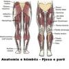 Anatomia e këmbës - Pjesa e parë