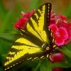 Beautiful Butterfly Jigsaw
