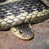 Common Garter Snake Jigsaw Puzzle