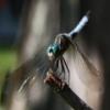 Dragonflies Jigsaw