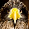 Eagle Pictures Jigsaw Puzzle