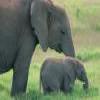 Elephants -1 Puzzle