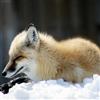 Fox Slider