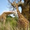 Giraffes – 1 Puzzle