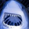 Great White Shark Jigsaw