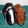 Guinea Pigs Jigsaw