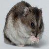Hamster Jigsaw