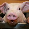 Happy Pigs Puzzles