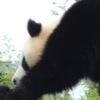 Jigsaw Panda