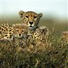 Leopard Sliding Puzzle