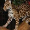 Leopards Jigsaw