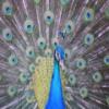 Peacock Slider
