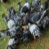 Pigeons Slider