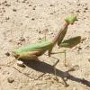 Praying Mantis Jigsaw