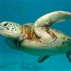 Sea turtle Jigsaw