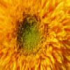 Sunflower Slider