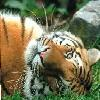 tiger swing set