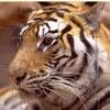 Tigre Jigsaw