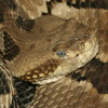 Timber Rattlesnake Jigsaw Puzzle