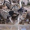 Zebra Sliding Puzzle